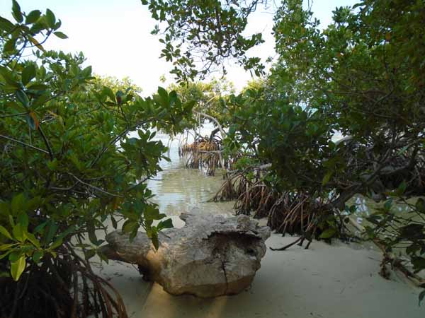 Here is a better shot of a small mangrove stand.